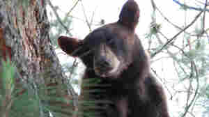'Bear Woman' Of Mendicino Cuts Plea Deal