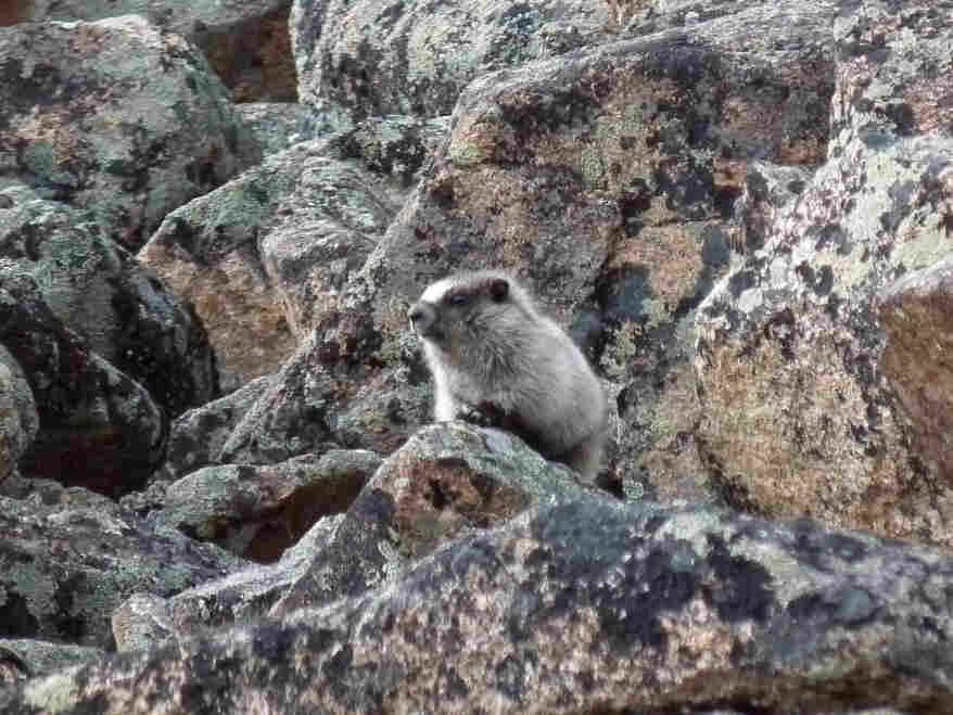 A marmot, climbing on the rocks in Alaska.
