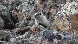 A marmot, climbing on the rocks in Alaska.