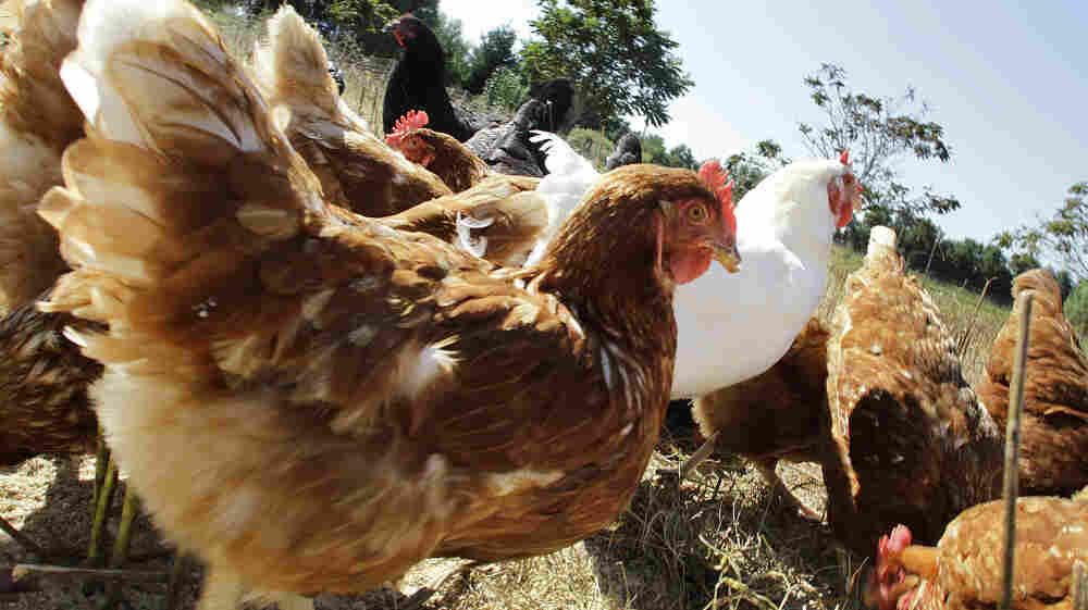 No chicken, organic or conventionally raised, is completely free of pathogens.
