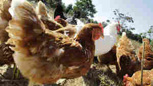 Organic Poultry Farms Have Fewer Drug-Resistant Bacteria, Study Finds