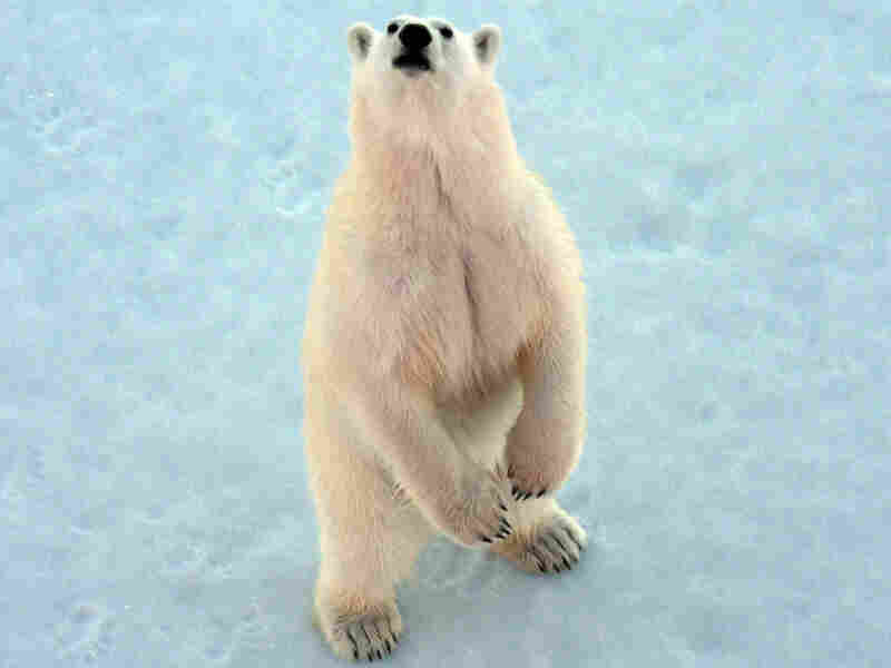 A polar bear approaches the Louis S. St.-Laurent, Canada's largest icebreaker, as it makes its way through the Northwest Passage in mid-July. The ship was on a journey that began in Newfoundland and would ultimately take it to the Beaufort Sea.