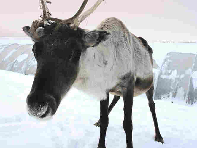 Only the U.S. and Britain had fully mechanized militaries, historian Tim Francis says.  Most other European allies used horses or donkeys to help move supplies.  Or, as in the North, reindeer.