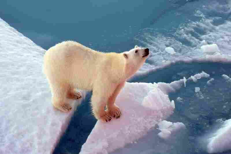 Polar bears frequently lumber along the ice floes on the Northwest Passage. The massive creatures often approach the icebreaker, like this curious bear, and are sometimes rewarded with food scraps.