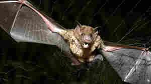 Vampire Bats. Bites. Rabies. Oh My!