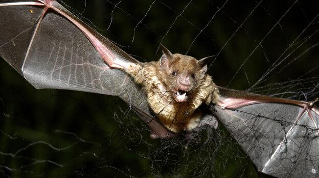 A vampire bat is caught in a net in the northeastern Amazon in Brazil in 2005.
