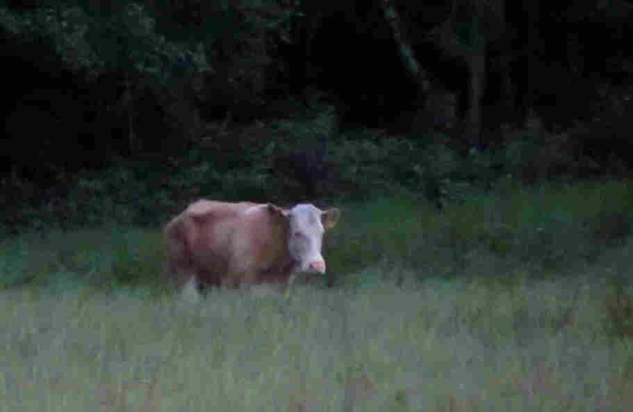 A cow named Yvonne has eluded capture since escaping a German farm in May. She's been spotted roaming a forest, but searchers haven't been able to get close to her. Now an animal psychic has been called in.