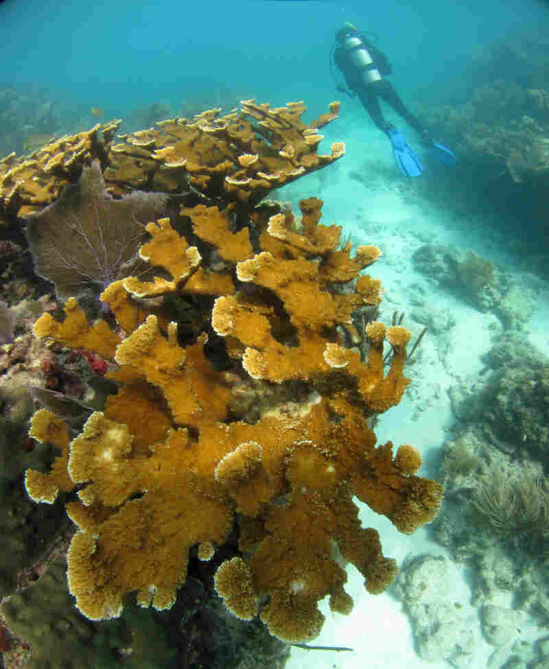 Healthy elkhorn coral is found on Sombrero Reef in the Florida Keys National Marine Sanctuary. In the past 15 years, almost 90 percent of elkhorn populations in the Florida Keys have died, landing this once-common coral on the endangered species list.