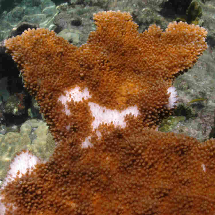 Caribbean Coral Catch Disease From Sewage