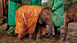 At the David Sheldrick Wildlife Trust's Nairobi Elephant Nursery in Kenya, an orphan elephant is protected from the cold and rain with a custom-made raincoat.