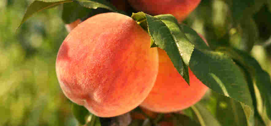 "Is It Ripe? ""To pick a perfect peach, obviously you need to pick it off the tree yourself,"" says Clemson University peach specialist Desmond Layne. But for those of us who pick peaches in supermarkets and not in orchards, he has three simple suggestions: Smell it. Squeeze it. Look at where it's from."