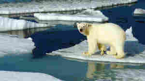 A polar bear makes its way across the ice in Canada's Northwest Passage. Melting ice in the Arctic will make survival increasingly difficult for wildlife in the region.