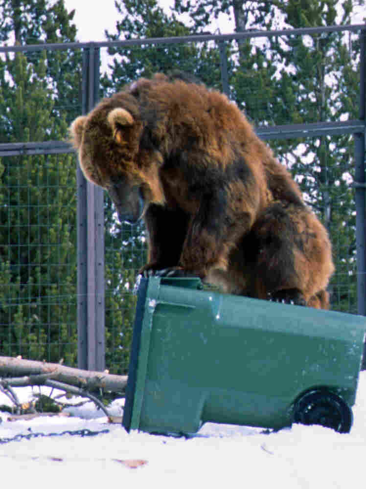 Sam, a 700-pound grizzly at the Grizzly & Wolf Discovery Center in West Yellowstone, Mont., attempts to pry open a storage container as part of a program to certify products for use in grizzly habitats.