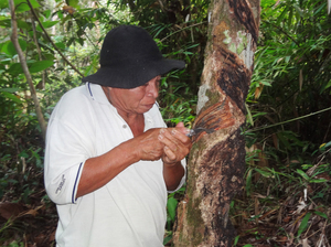 Layan Lujum, 80, Sekendal's village chief, cuts grooves in one of his rubber trees.  Indigenous people in Borneo say they can make  more money selling the latex sap from rubber trees than working on the area's palm oil plantations.
