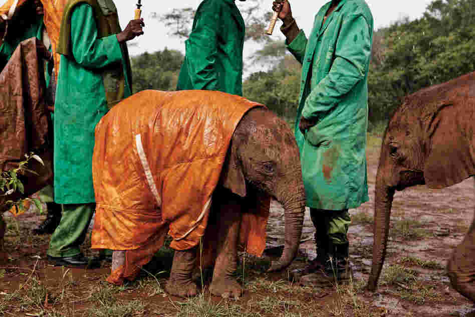 Little orphan Shukuru wears a custom-made raincoat at the David Sheldrick Wildlife Trust's Nairobi Elephant Nursery in Kenya.