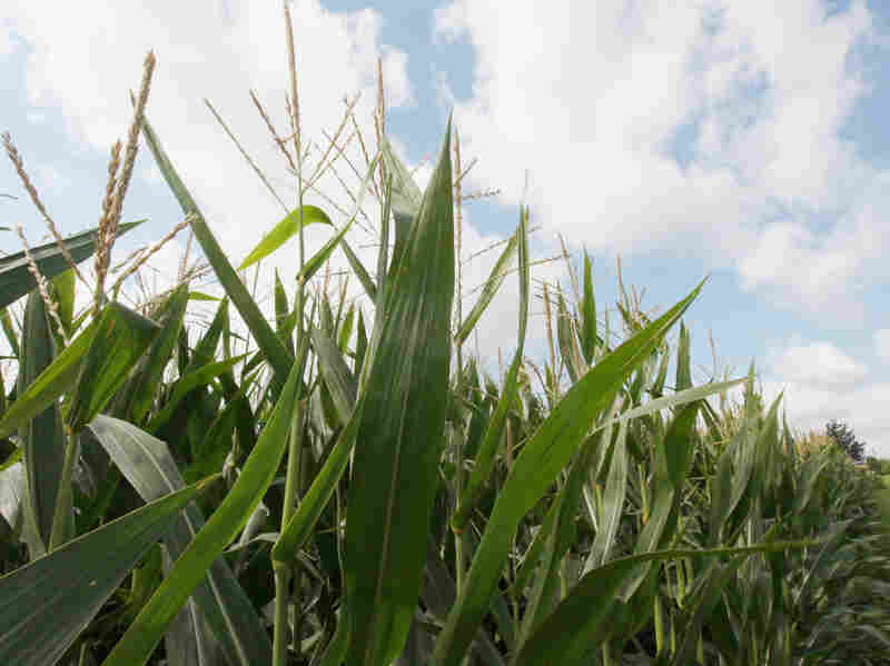 High grain prices and increasing yields have been an economic windfall for farmers. Low stockpiles, the use in ethanol production and orders from China have driven up demand, and are expected to keep corn prices high.