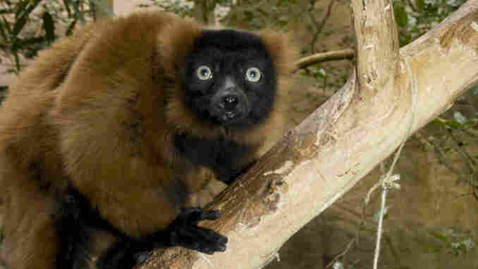 The National Zoo's 23-year-old male red-ruffed lemur, Joven.