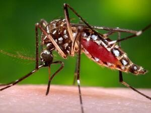 Researchers hope to keep the mosquito that transmits dengue, Aedes aegypti, from infecting humans using the Wolbachia bacterium.