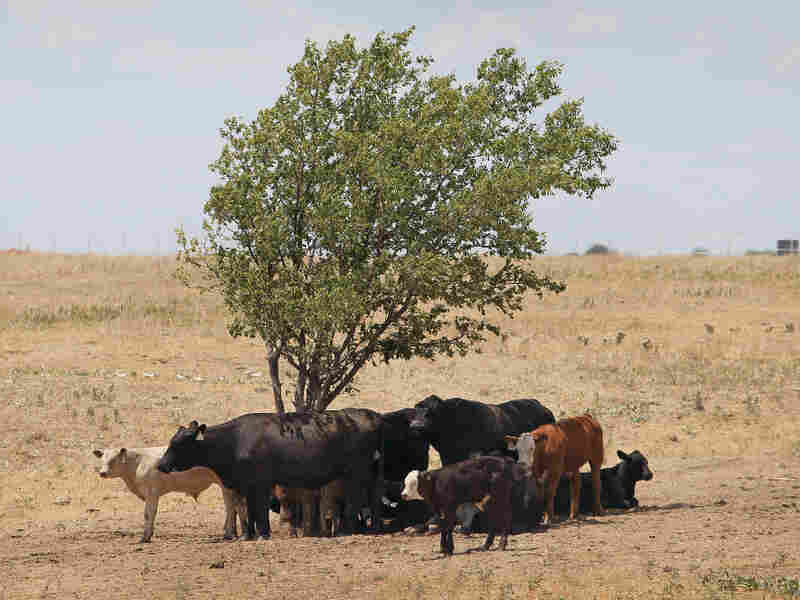 Cattle use a tree for shade near Canadian, Texas, in late July, with temperatures rising above 100 degrees. A severe drought has caused shortages of grass, hay and water in most of Texas, forcing ranchers to thin their herds or risk losing their cattle to the drought.