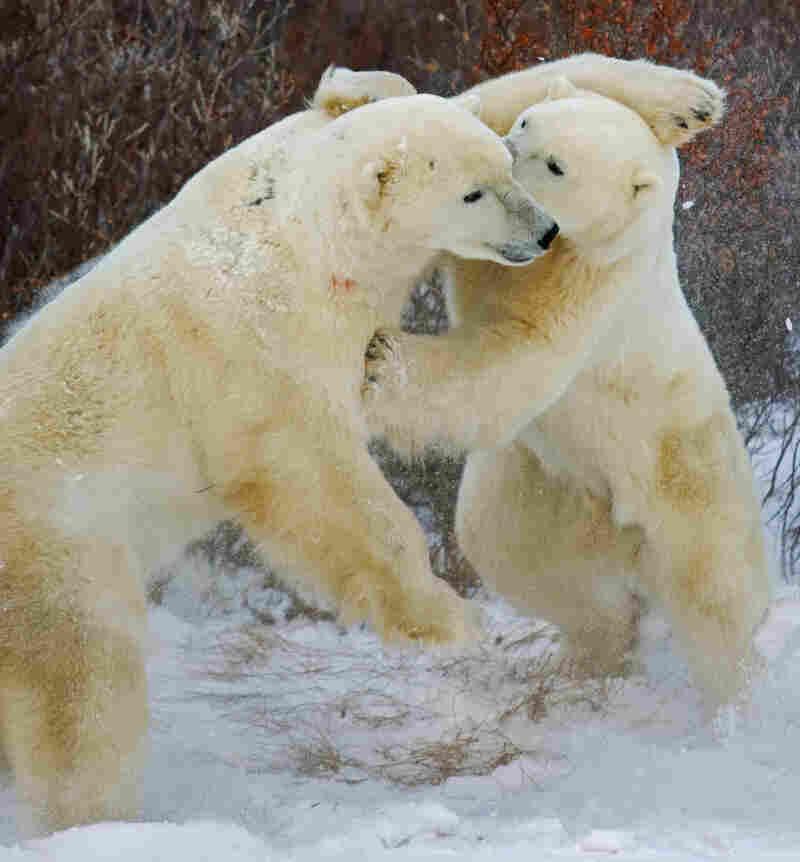 Two polar bears spar on the shoreline of the Hudson Bay in November 2007.