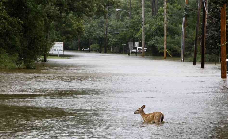 A deer wades through floodwaters in the aftermath of Hurricane Irene on Sunday in Lincoln Park, N.J. Rivers and creeks su