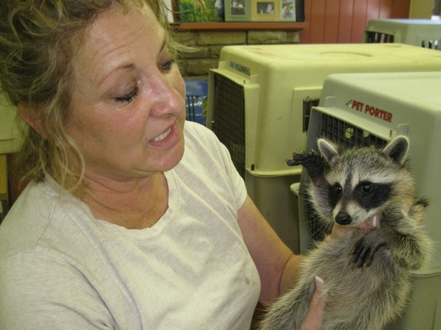 "Susan Edwards, manager of Austin Wildlife Rescue, holds a juvenile raccoon. The raccoon should be twice its size by now. But because of the drought, ""the water sources are so poor, the mother's milk"" lacked essential nutrients, Edwards said."