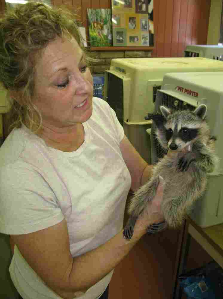 """Susan Edwards, manager of Austin Wildlife Rescue, holds a juvenile raccoon. The raccoon should be twice its size by now. But because of the drought, """"the water sources are so poor, the mother's milk"""" lacked essential nutrients, Edwards said."""