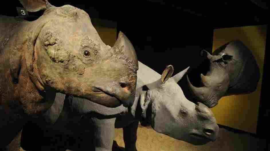 In late July, the Brussels Royal Institute for Natural Sciences Museum was among those targeted by horn robbers.