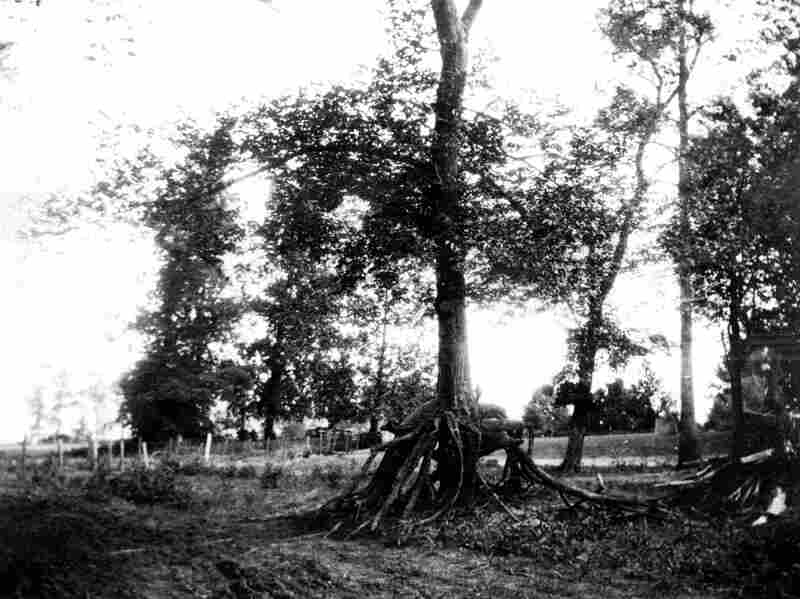 The earthquakes caused the Mississippi River to overflow its banks. The high water brought sand, which covered up several feet at the base of trees. The trees survived and grew roots into the new sand, which had been washed away by the time this picture was taken in 1904.