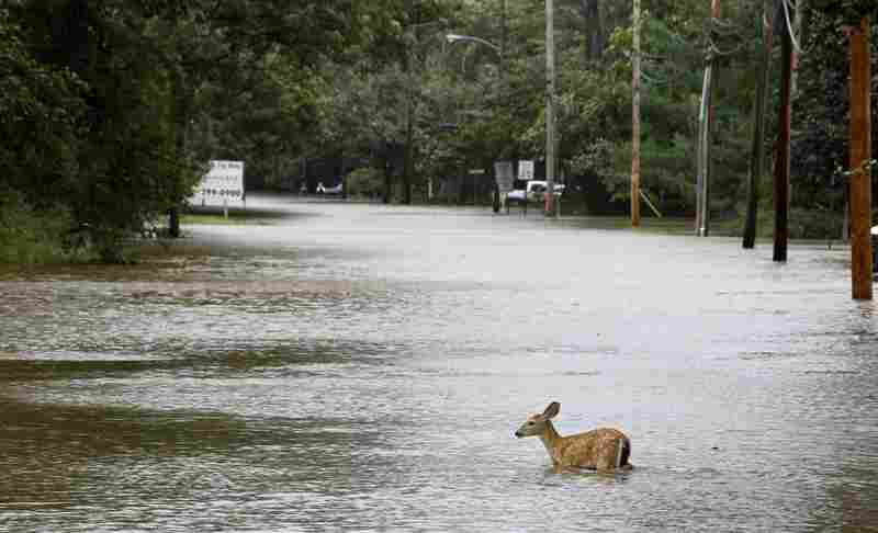 A deer wades through floodwaters in the aftermath of Hurricane Irene on Sunday in Lincoln Park, N.J. Rivers and creeks surged toward potentially record levels.