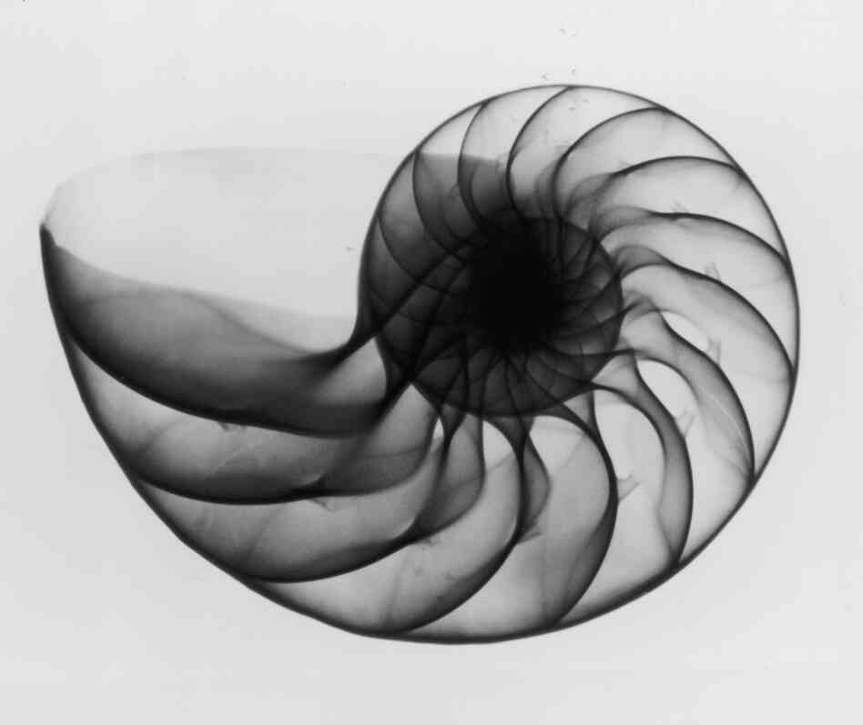 An X-ray photograph of a nautilus shell, circa 1910