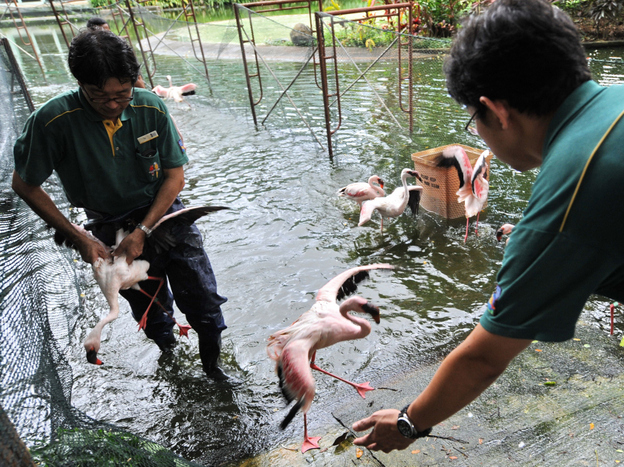 Workers at the Jurong Bird Park in Singapore catch flamingos last year as part of a drive to vaccinate them against avian flu. (AFP/Getty Images)