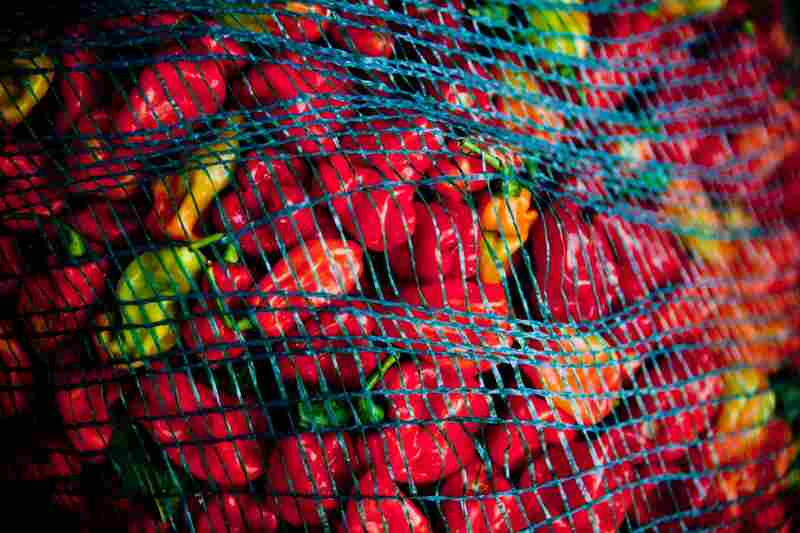 A bagful of fiery African peppers; they sell for 80 cents a pound on the Bowling farm.