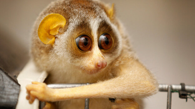 The slender loris: looking for solutions to deforestation and other biodiversity challenges.
