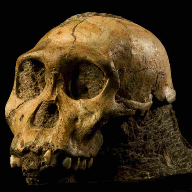 """The fossil of Australopithecus sediba could be the long-sought transition between ape-like ancestors and the first humans. """"It shows a small brain, but a brain that's beginning to reorganize in some ways that resemble our brain,"""" says anthropologist Lee Berger."""
