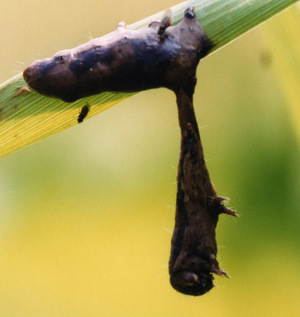 Caterpillars infected with baculovirus climb to the tops of trees, where they melt and drip the virus onto the foliage below. There, it's eaten by other caterpillars.