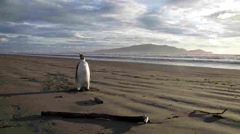 Back in June, Happy Feet showed up on Peka Peka Beach in New Zealand.