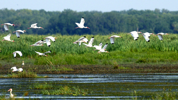 A flock of ibis flies at the Oak Creek Marsh, a former cattle pasture near the Kissimmee  River, the headwaters of Florida's Everglades. (AP)