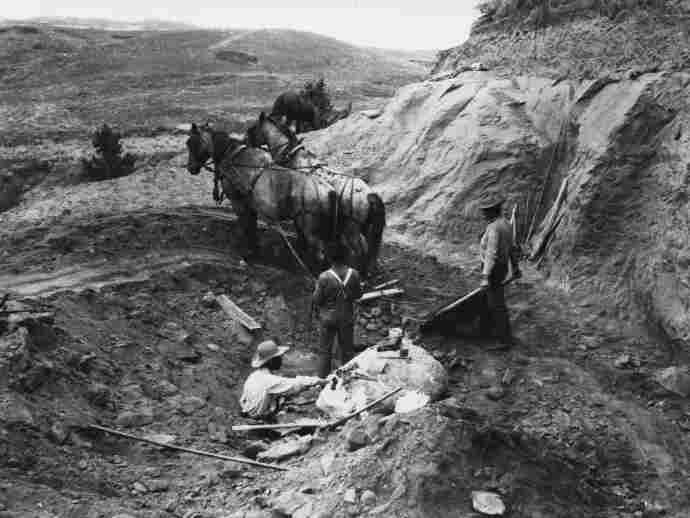 Brown (lower left) works in the quarry in 1905 in Hell Creek, Mont., where the first T. rex was found. Brown and his team used horses to pull away layers of soil and rock above the dinosaur bones.