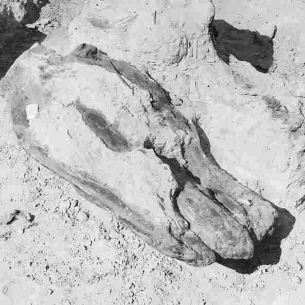 A dinosaur skull in Hell Creek, Mont. 1908