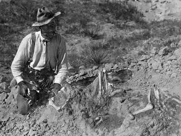 Fossil hunter Barnum Brown discovered and excavated the first Tyrannosaurs rex skeleton, starting in 1902. Here, he's uncovering bones in a dusty field in 1901.