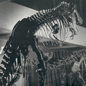 When the T. rex skeleton was first put on display, it was presented standing vertically, in this Godzilla-like pose, as seen at the Carnegie Museum of Natural History around 1950. Recent studies show the dinosaur actually kept its body horizontal. Watch the videos here to see how T. rex walked.