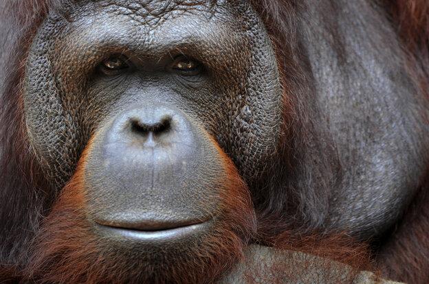 An orangutan sits in its an enclosure in Ragunan zoo in Jakarta on January 27, 2011.
