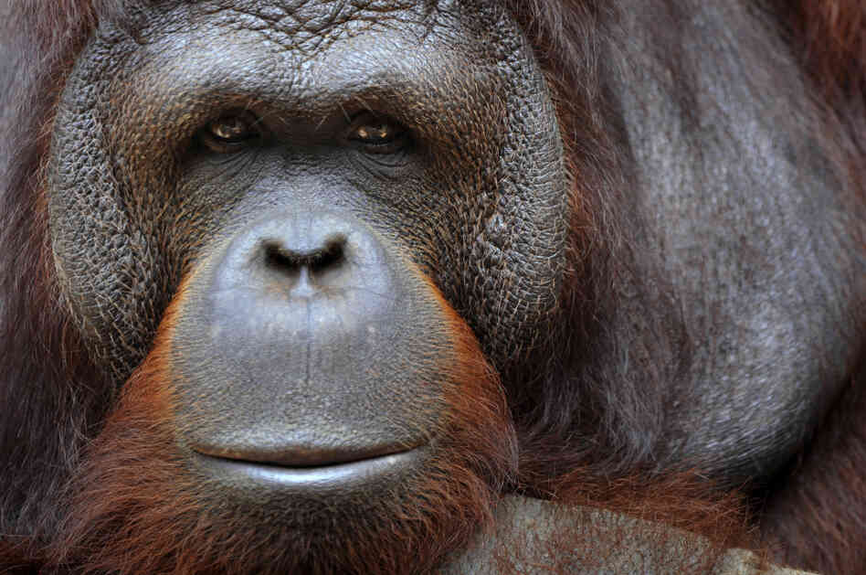 An orangutan sits in its an enclosure in Ragunan zoo in Jakarta on January 27, 2011.