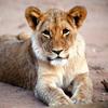 A lion cub at Mount Etjo Reserve,   Namibia.