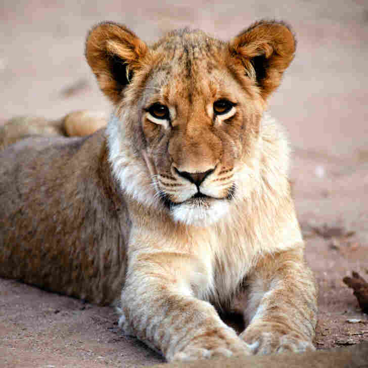 A lion cub at Mount Etjo Reserve,   Namibia.
