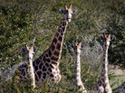 Spooked by a noise, giraffes in northwest Namibia interrupt lunch to look around.
