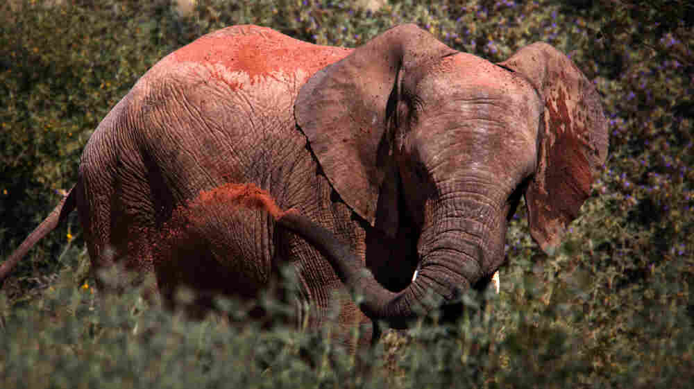 A young elephant sprays sand on his back to keep the midday sun off, or maybe for fun, in Twyfelfontein conservancy.