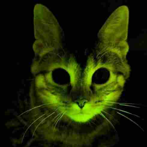 Cats That Glow For AIDS Research Join List Of Animals That Shine