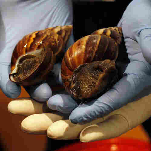 Miami Battling Invasion Of Giant African Snails